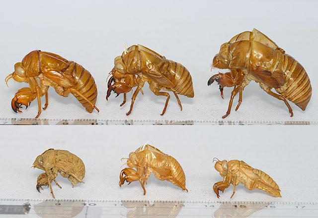 セミ の 抜け殻 種類 セミの抜け殻のしらべ方 身の周りにいる6種類が見分けられる!
