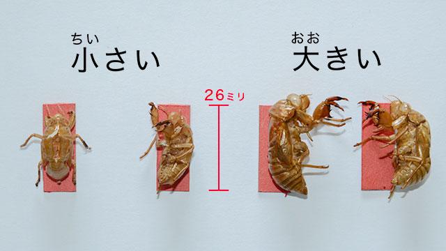 セミ の 抜け殻 種類 セミの抜け殻の種類とオスメスの見分け方